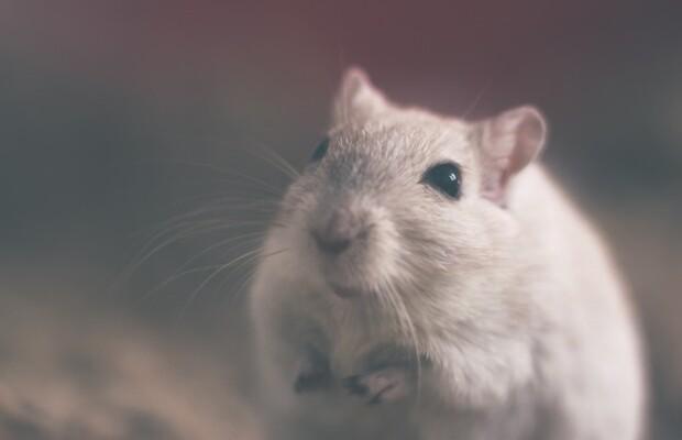 walka-ze-szczurami